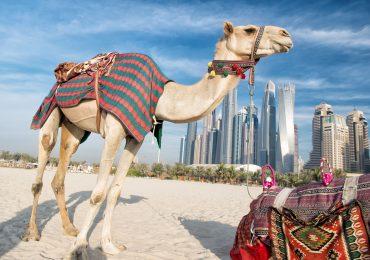 Skyline Dubai met kameel